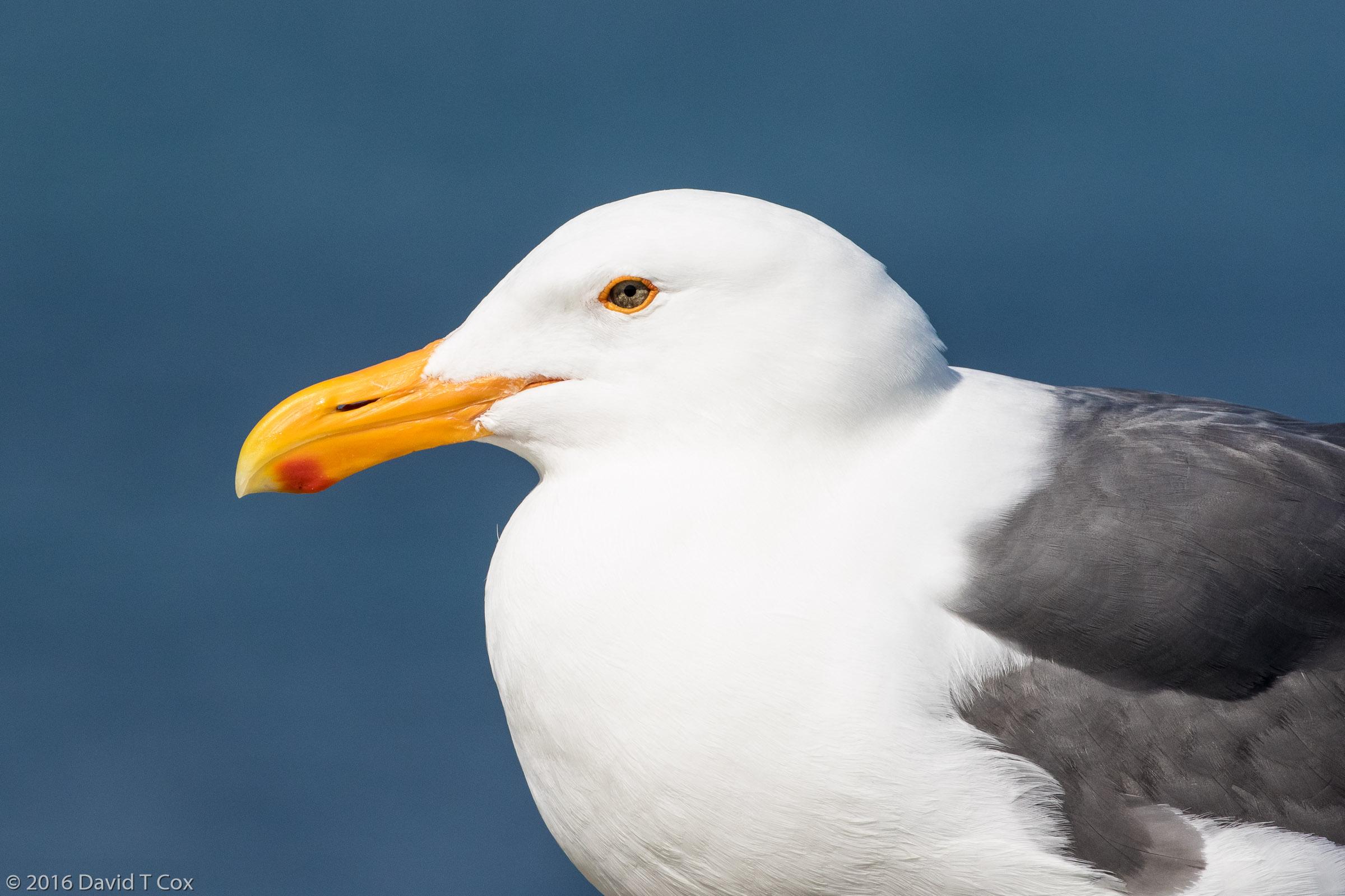 Western Gull Breeding Bodega Bay Ca Dave S Travelogues