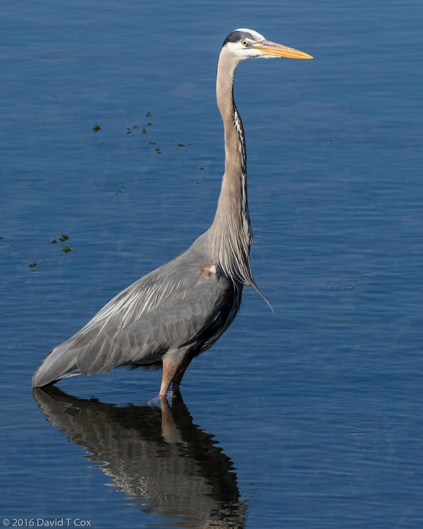 Great Blue Heron Bird Walk Bodega Bay Ca Dave S